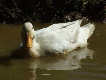 White Duck Reflection 1