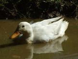 White Duck Reflection 2