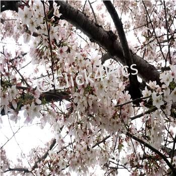 White Flowering Tree STOCK PHOTO