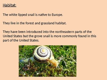 White Lipped Snail - Power Point - facts information pictures