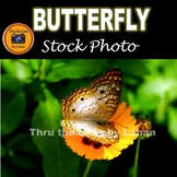 White Peacock Butterfly Stock Photo #275