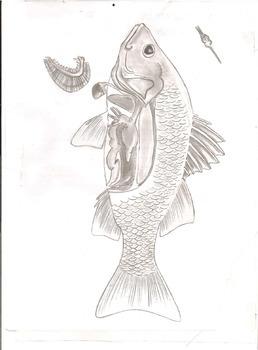 White Perch Anatomy