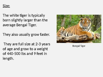 White Tiger - Power Point information facts pictures review