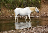 White Wild Horse in the Water Stock Photo #235