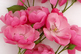 White background with pink roses and copy space