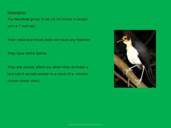 White necked rockfowl - rare bird - Powerpiont Information Facts Pictures