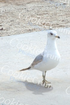 White pigeon at beach