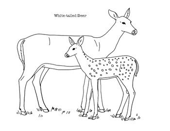 White Tailed Deer Coloring Page By Mama Draw It Tpt