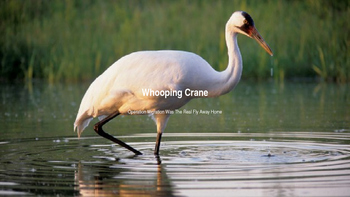 Whooping Crane - Info On An Enderged Species Of Crane