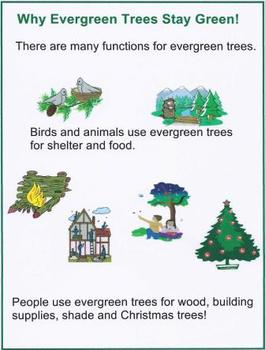 Why Evergreen Trees Stay Green