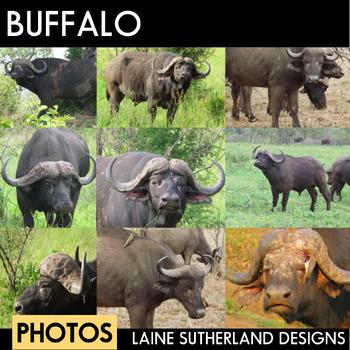 Wild Life Photos of Buffalo of Prey for Commercial Use