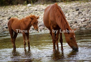 Wild Mare and Colt Stock Photo #234