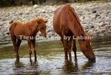 Wild Mare and Colt Stock Photo #234