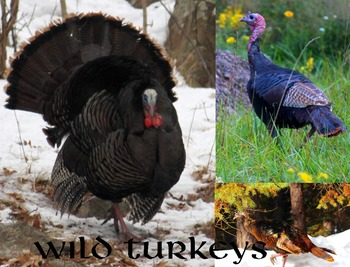 Wild Turkeys.....(photos for commercial use)