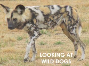 Wild Dogs - Interactive PowerPoint presentation