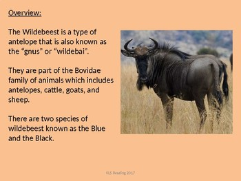 Wildebeest - Power Point facts information pictures