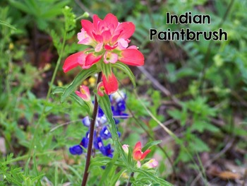 Texas Wildflowers - Slideshow and photographs
