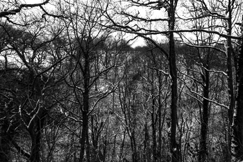 Winter trees in the woodlands black and white