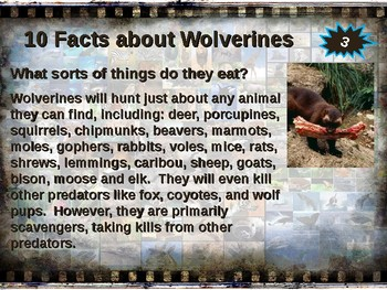 Wolverines: 10 facts. Fun, engaging PPT (w links & free graphic organizer)
