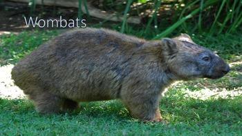 Wombats - Powerpoint