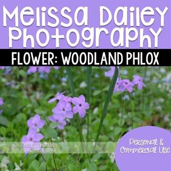 Woodland Phlox Photograph