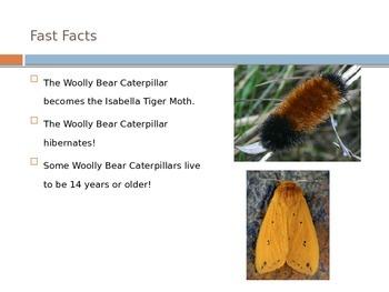 Woolly Bear PowerPoint