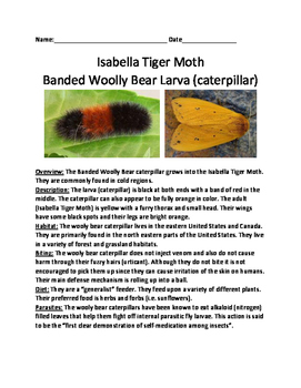 Wooly Bear Caterpillar - Isabella Tiger Moth lesson article questions facts