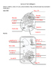 Worksheet: Label the structures of the plant and animal cell