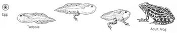 Compare/Contrast FROGS + TOADS Life Cycle What are Amphibians? 25 Read Compre Qu