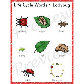 Writing Center Word List ~ Life Cycle Words {Ladybug}