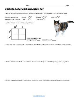 X Linked Genetics in the Calico Cat (KEY) by Biologycorner ...
