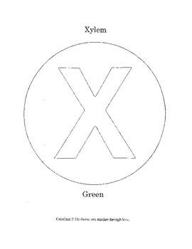 X - Xylem