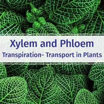 XYLEM: FuseSchool Biology Video Guide