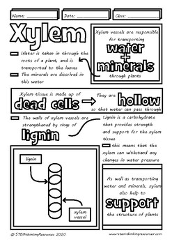 Xylem Phloem in Plants Biology Doodle Sheets Visual Guided Notes Test Prep