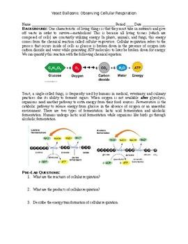 Yeast Balloons: Cellular Respiration Lab (Fermentation)