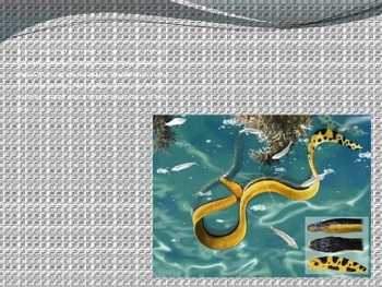 Yellow Belly Sea Snake