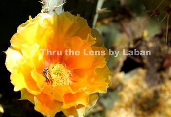 Yellow Cactus Flower and Bee Stock Photo #93
