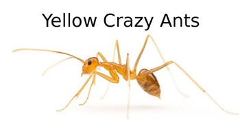 Yellow Crazy Ants - Invasive Species - Power Point facts information pictures