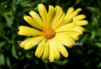 Yellow Daisy Stock Photo #153