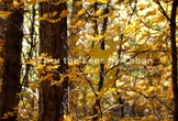 Yellow Fall Leaves Stock Photo #228