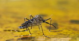 Yellow Fever - Virus Power Point history, facts, symptoms, outbreaks
