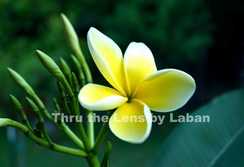 Yellow Plumeria Flower Stock Photo #131