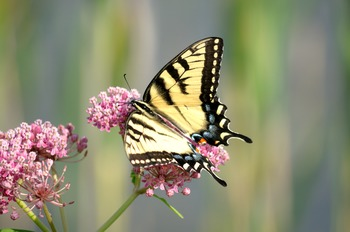 Yellow Swallow Tail Butterfly