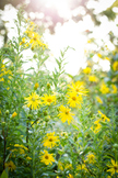 Stock Photo: Yellow Wildflowers