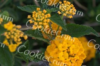 Yellow lantana flower