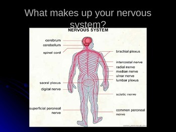 You've Got Some Nerve! The Nervous System