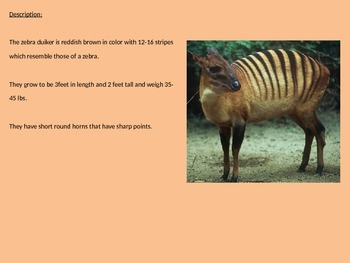 Zebra Duiker - Rare Power Point - Information Facts Pictures Review
