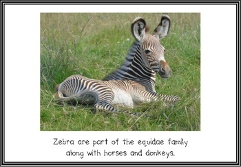 Zebras Teaching Posters/Flash Cards