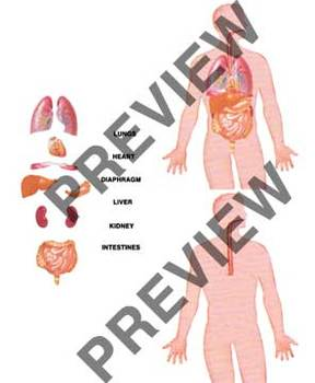 cut and paste - HUMAN BODY - heart, lungs, liver, diaphragm, kidney, intestines