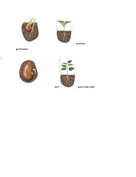 green bean life cycle